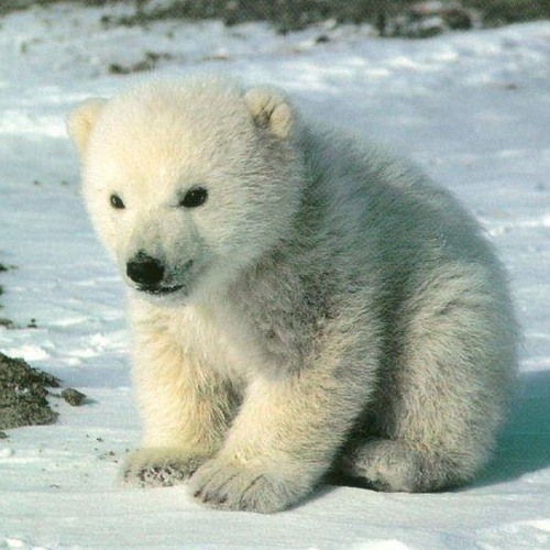 PIXL - Look at this Polar bear cub! LOOK! (OMFG SO-CUTE MIX)