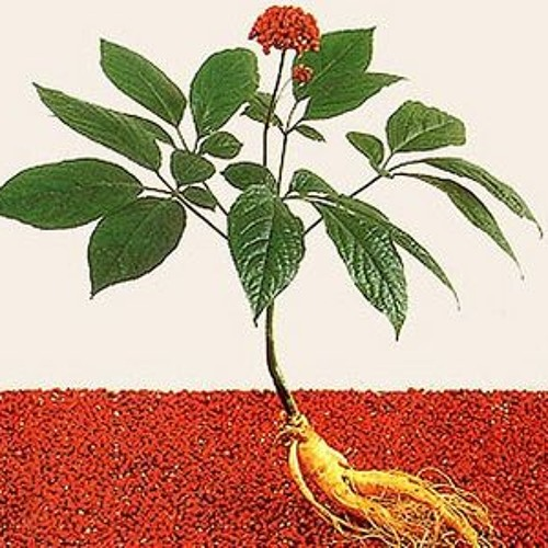 What Are you Growing in your Ministry?  Radishes or Ginseng?