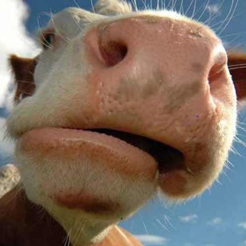 Кагарлик Корову увели
