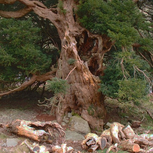 Yew Trees by Diederik de Jonge, Dave McKeown & Vlad Josephson