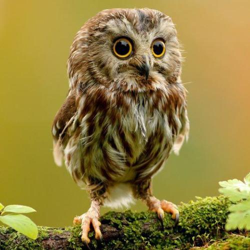 EstBear the Owl