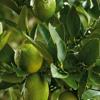 The lime tree - trevor hall