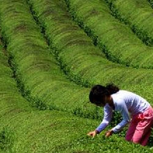 采茶曲 (The Tea Plucking Song)