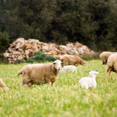 Payés y ovella mallorquina. Agroturismo Son Lladó. Paisajes sonoros 001