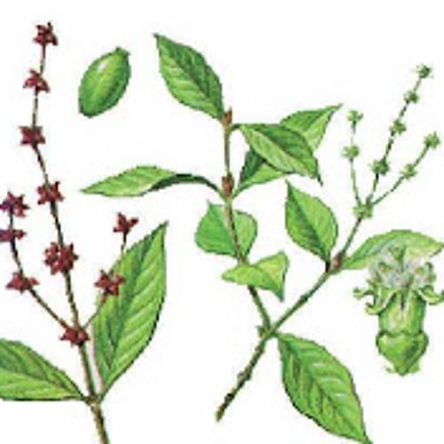 Psychotria_viridis 107 bpm