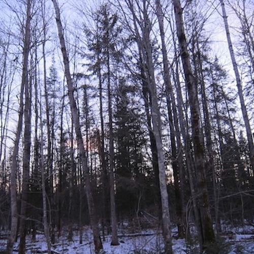 Forest,Wind,Tree Creaks