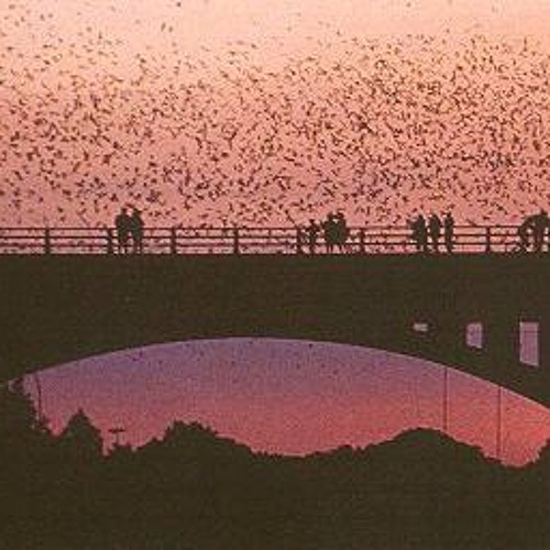 1.5 million large bat colony under bridge in Austin, Texas