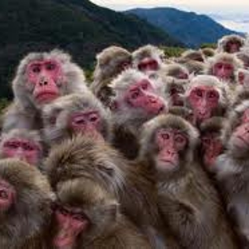 40 Monkey Shuffle