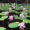 Where water lily blooms Tyros3