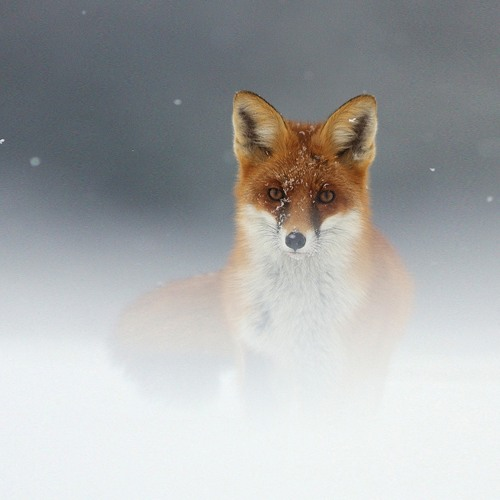 foxes in the fog of london