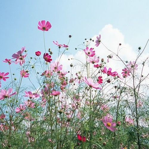 all I need is music and cosmos flowers