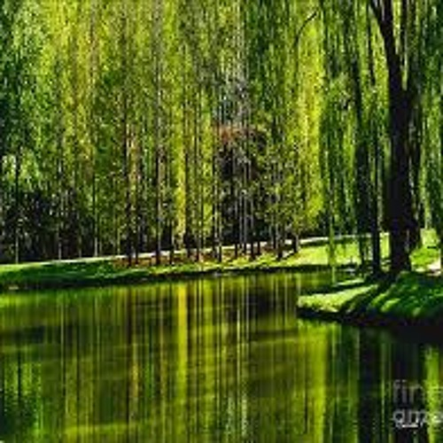 Grace of the willow