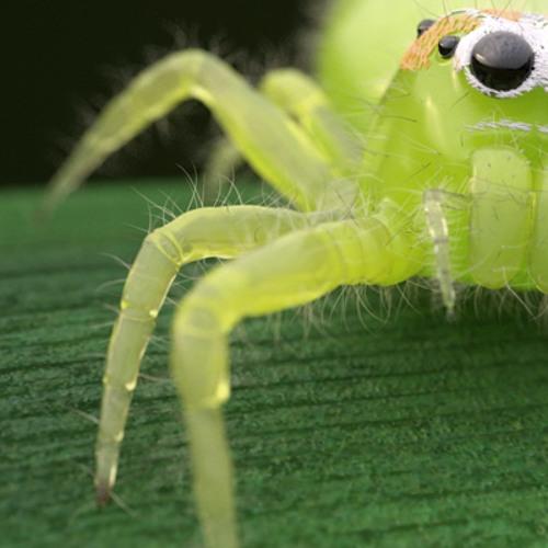 Cyanea - Jade Spider