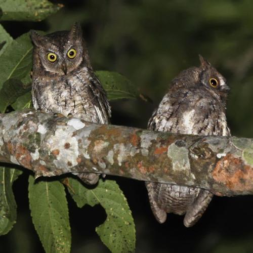 Owl (Otus jolandae) Song
