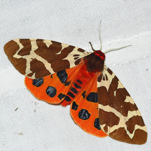 In that Warm, Vibrant August Dusk, I Knew of the Heart of Light in the Colours of the Tiger Moth