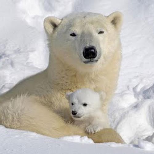 Matt Baker & John Styles - Polar Bears in Spring