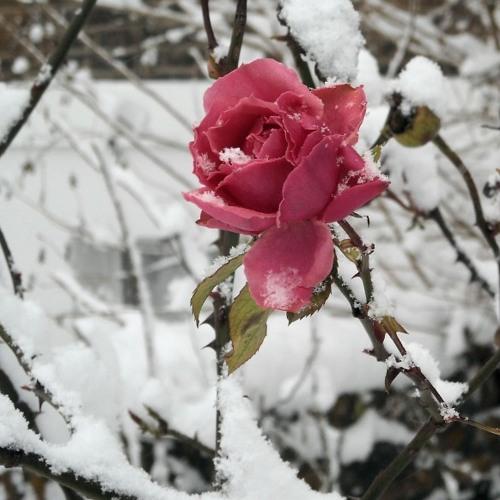 Winter Rose (Paul McCartney & Wings cover)