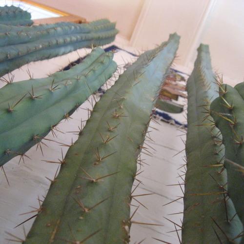 Mouvement de Cactus