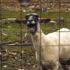 Funny Sheep/Goat screaming like a human
