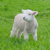 Lamb from Iona