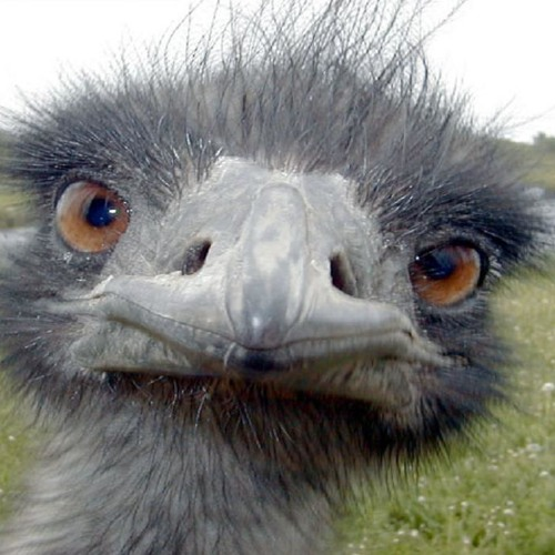 It takes more than one person to steal an emu