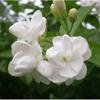 Jasmine Flower Mo Li Hua 茉莉花