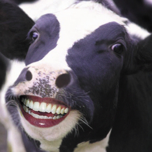 Komplextrus - The cow song