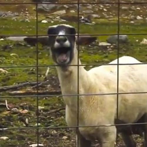 Nice Legs Daisy Dukes Featuring The Goat