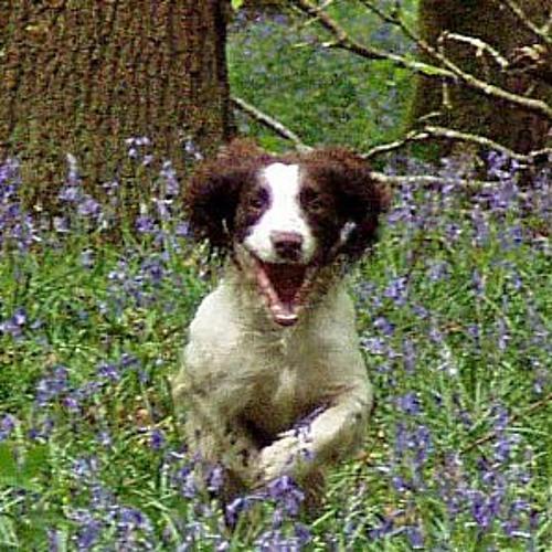 Bluebell............a tribute to Lennon.......my Springer Spaniel..........RIP