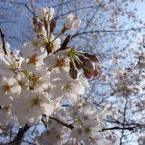 Mesilased kirsiõitel