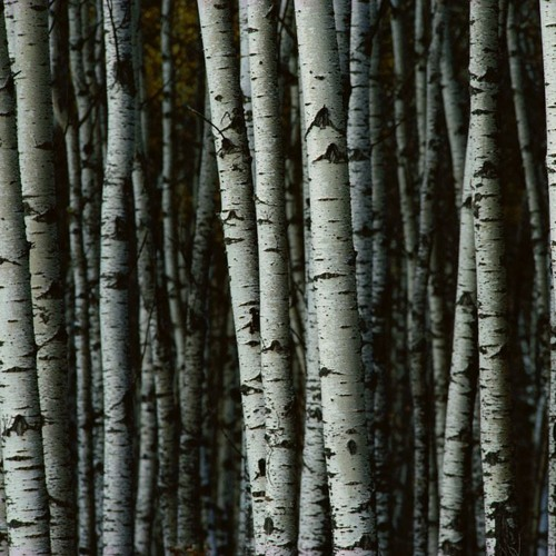 Birch Tree Project - Styx and Stones