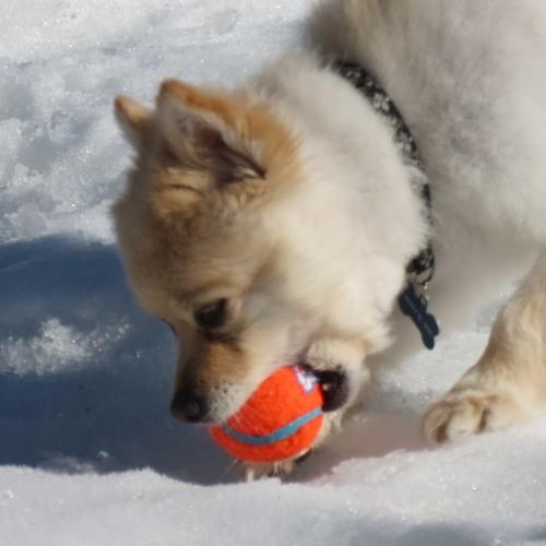 Dog Chomping Tennis Ball
