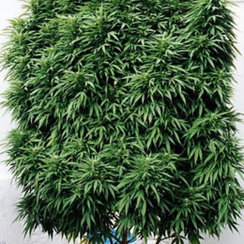 DubplateTwister-Its a perfect tree(Marihuana)  PREVIEW soon at Fukin Mice Netlabel