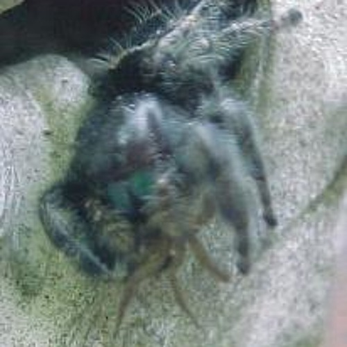 Spider on Spider crime ! Charlotte's ebb/Walking song/PFS.( The guitar is a strange device )