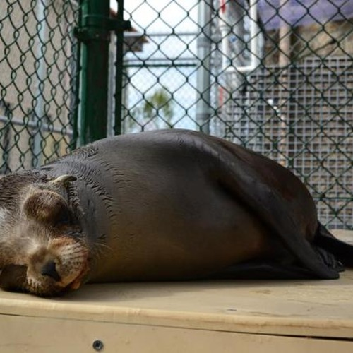 A Spike in Sick Sea Lion Pups Beaching Themselves in Southern California
