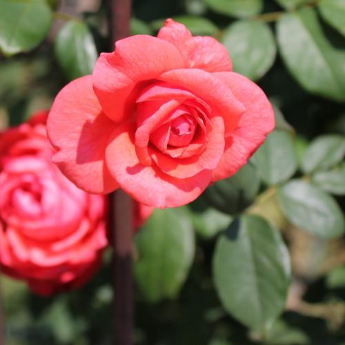 Para fazer a rosa durar mais no vaso com água