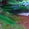 Dolphins thrashing in water - Taiji Japan