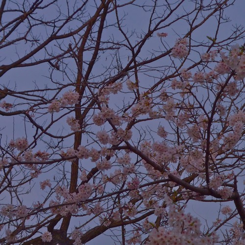 Intermezzo (Dreaming of Sakura)