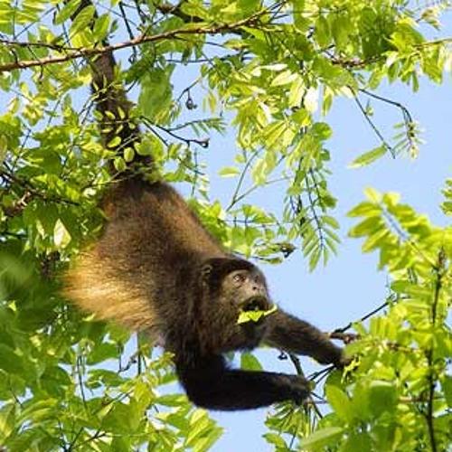 Truama monkey