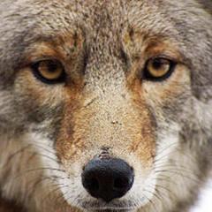 Me Dicen el Coyote