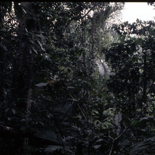 Bayaka rainforest soundscape at night (Central African Republic, 1996) [1997 21 2 355 (edit)]