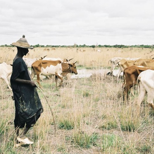 Cows and the Fula people