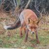 Tom B. - Der Fuchs geht durch den Wald ..