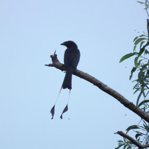 Cone N Drum - Racket Tailed Drongo - Pororoca Rmx