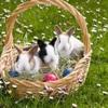 Qu'est-ce que c'est ? : un  lapin Australien