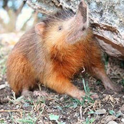 The Guide to Being a Solenodon