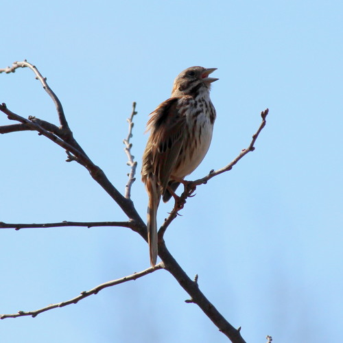 Song Sparrow #1 returns to his preferred tree