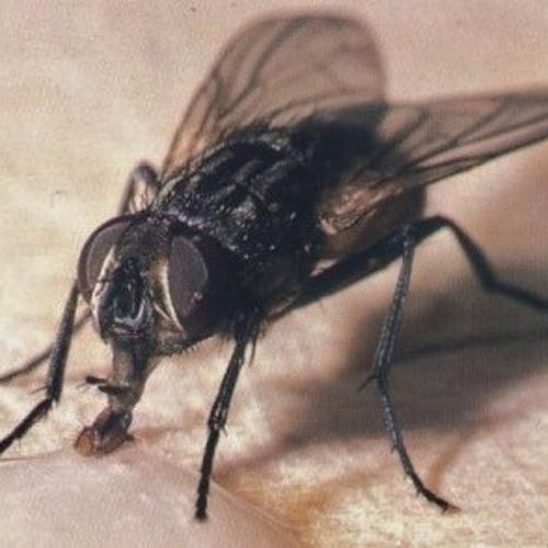 La mosca al nas