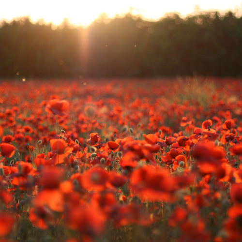 Music for a poppy field