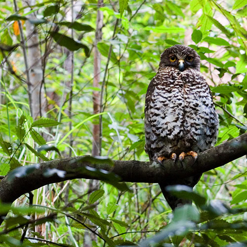 Powerful Owl and Bassian Thrush - Pre-dawn in the Royal National Park, Sydney